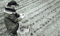 Ernte von Feldsalat